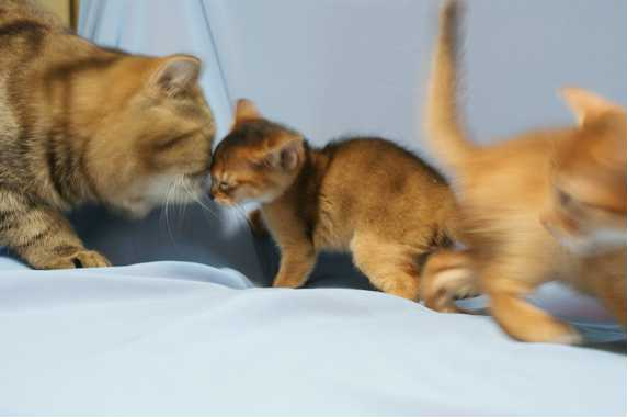 エキゾチックVSアビシニアン子猫の横顔_e0033609_16171965.jpg