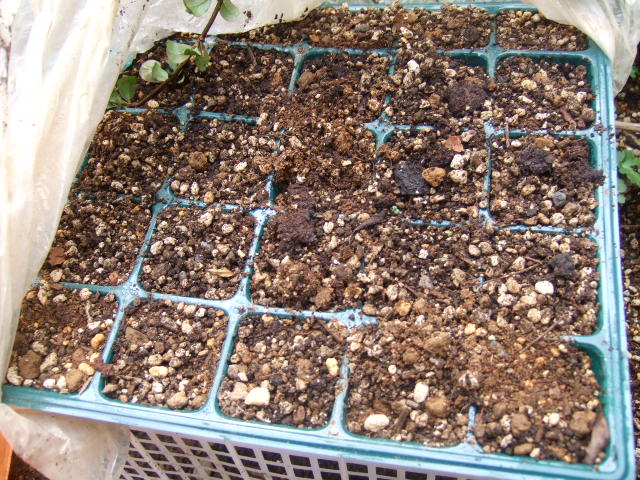 暖かくなり....野菜の芽が!_b0137932_1835408.jpg