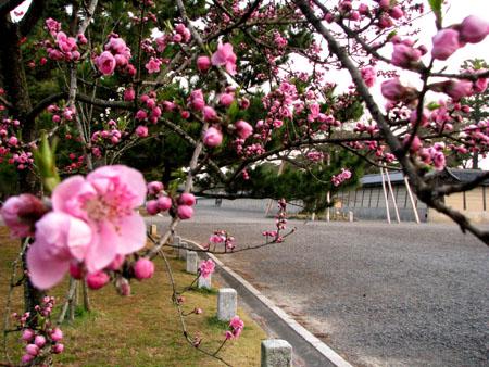 京都御苑 桃花_e0048413_2314251.jpg