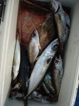 2009年3月13日 金曜日 フラッシャーサビキ五目~泳がせ五目船_f0031613_202568.jpg