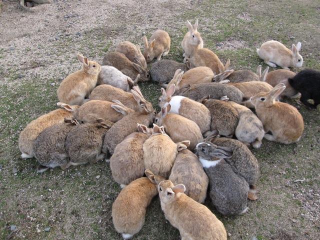 【うさぎ島】 うさぎ好きの聖地 人口よりウサギの方が多い島 【野良ウサギが300\u2026