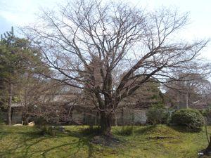 養源院の桜その1_e0153039_1341932.jpg