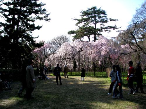 京都御苑 早咲き桜1_e0048413_23394688.jpg