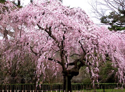 京都御苑 早咲き桜1_e0048413_23401247.jpg