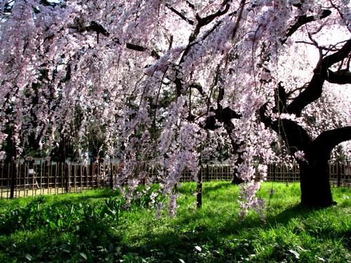 京都御苑 早咲き桜1_e0048413_23403365.jpg