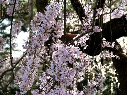 京都御苑 早咲き桜1_e0048413_23405230.jpg