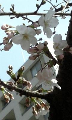 一番桜_c0141025_0281399.jpg