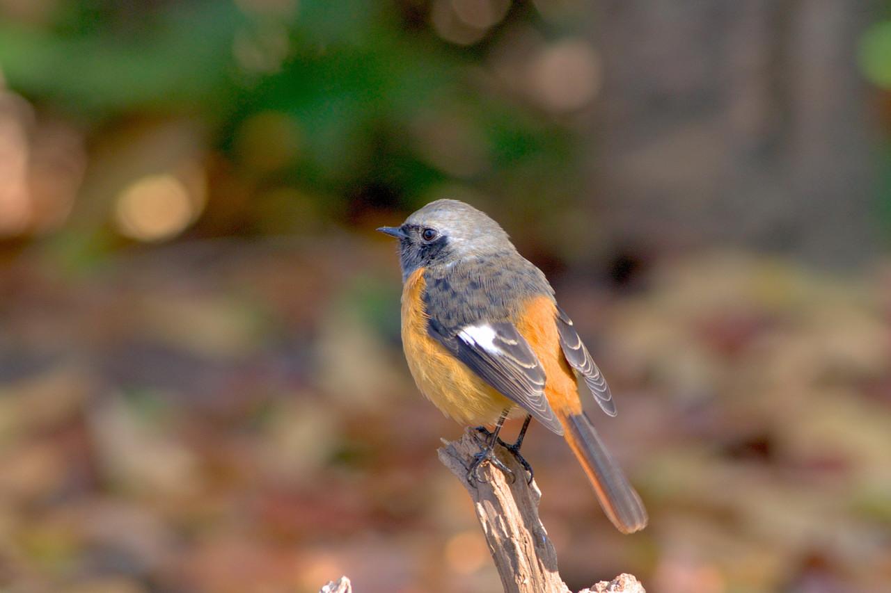 ジョウビタキ:一番身近な小鳥 ... : カレンダー 2014 無料 : カレンダー