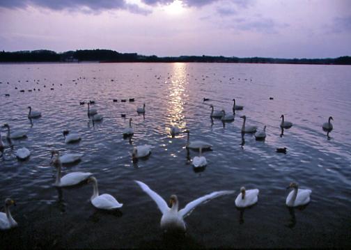 東北撮影旅行その4  伊豆沼の白鳥_e0165983_12184095.jpg