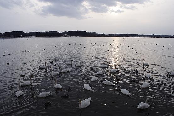 東北撮影旅行その4  伊豆沼の白鳥_e0165983_1282573.jpg