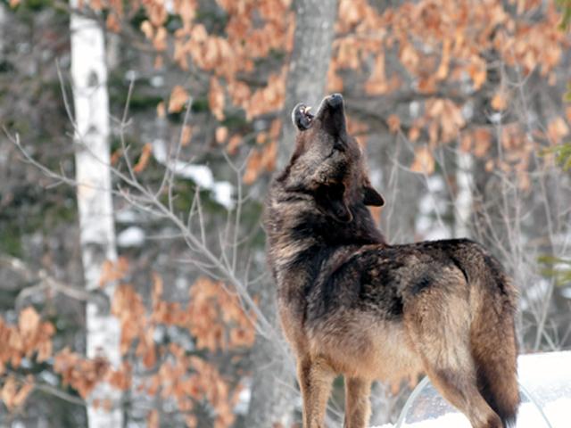 遠吠えをする後ろ姿の狼