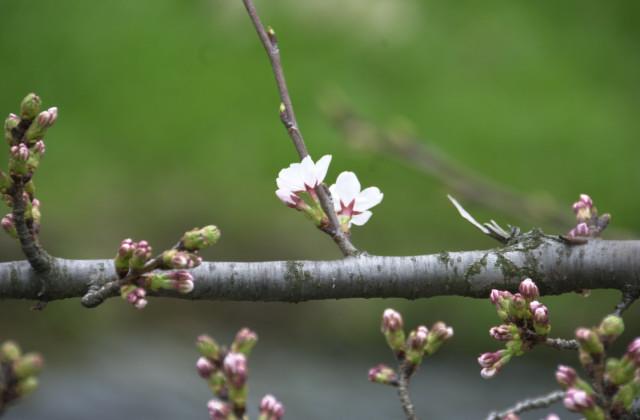 さくらが咲いてます_f0192307_1765875.jpg