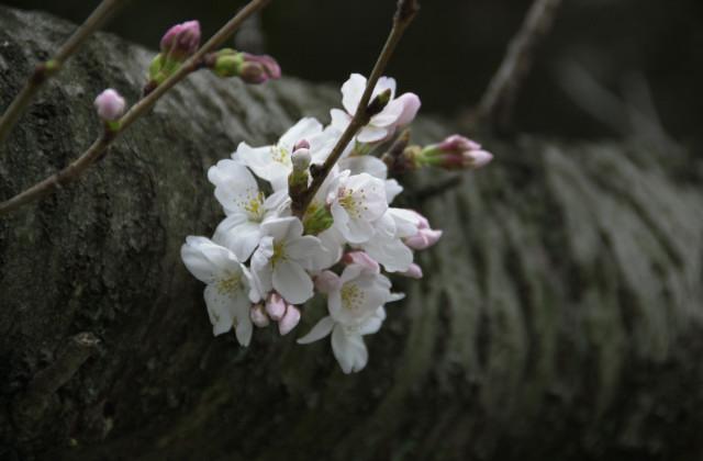 さくらが咲いてます_f0192307_177970.jpg