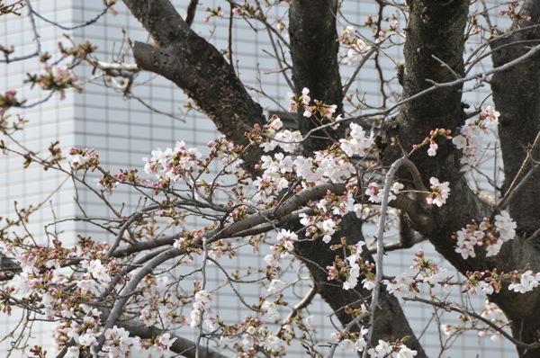 桜。_b0028732_0222091.jpg