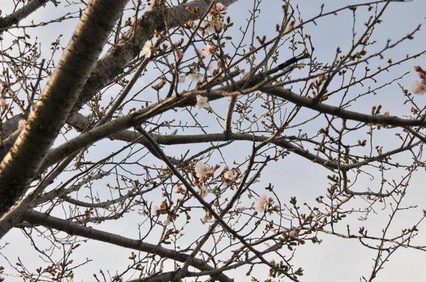 桜。_b0028732_023369.jpg