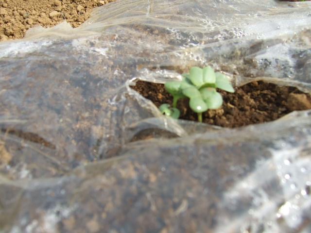 春です~野菜が...._b0137932_12201087.jpg