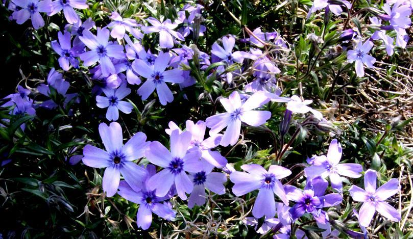 紫色の芝桜   コゴミの天ぷら_a0107574_3293181.jpg