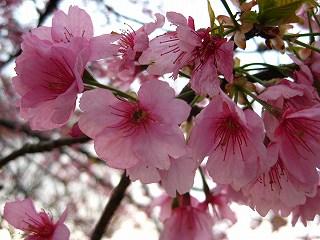 大寒桜_d0074474_1752492.jpg