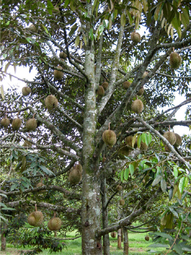 ドリアンの木, a fruit-bearing durian tree