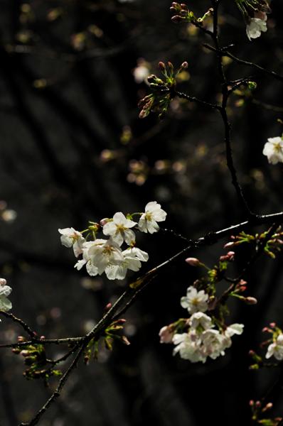 雨上がりの夜桜_a0003650_062965.jpg
