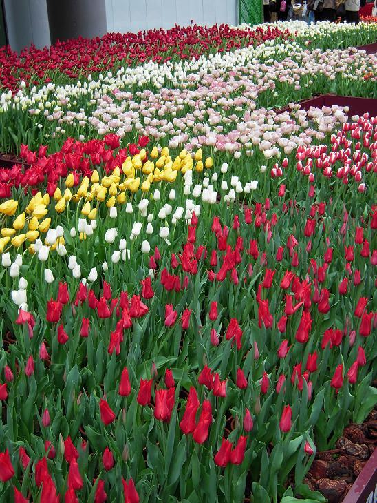 Tulip Fair 2_d0135762_22552558.jpg