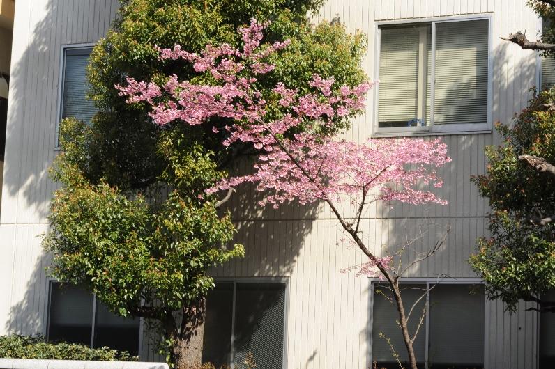 これはコヒガン桜か?@東京農大_d0056382_20405058.jpg