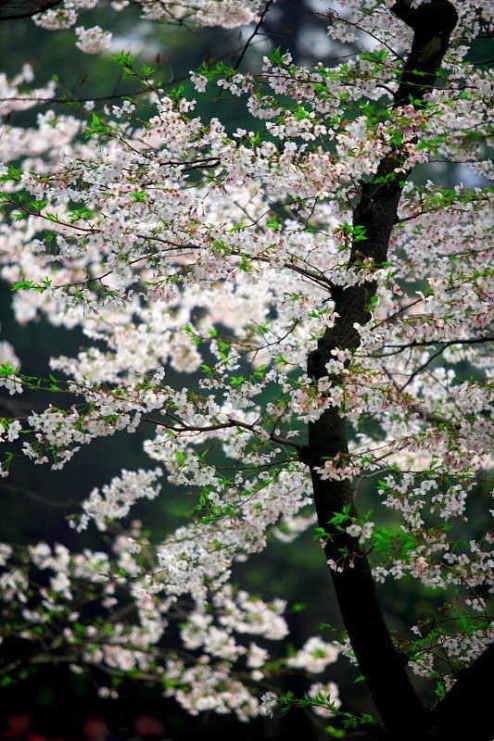 ■武漢の桜_e0094583_7343178.jpg
