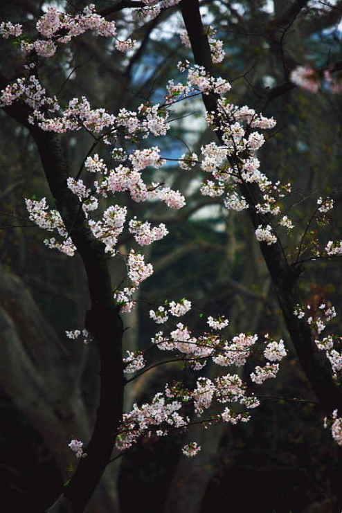■武漢の桜_e0094583_7344387.jpg