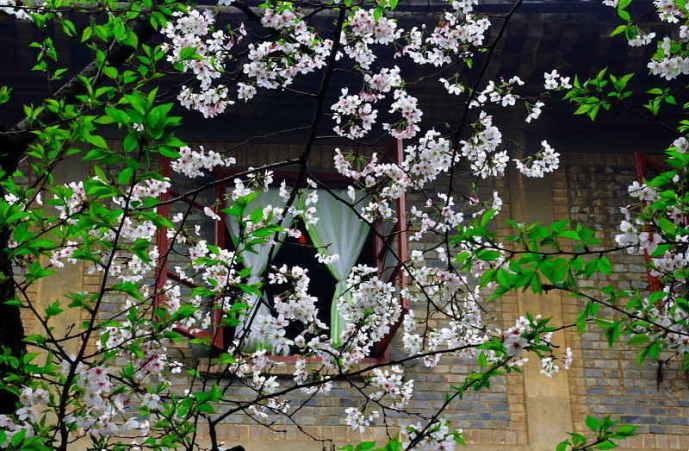 ■武漢の桜_e0094583_7394790.jpg
