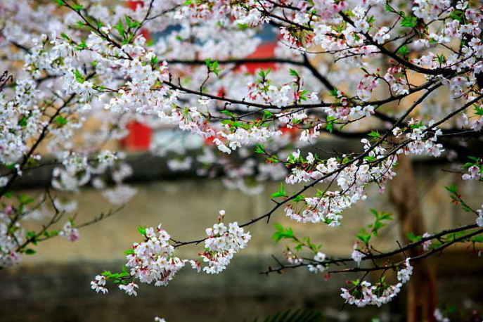 ■武漢の桜_e0094583_740297.jpg