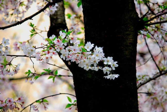 ■武漢の桜_e0094583_740424.jpg