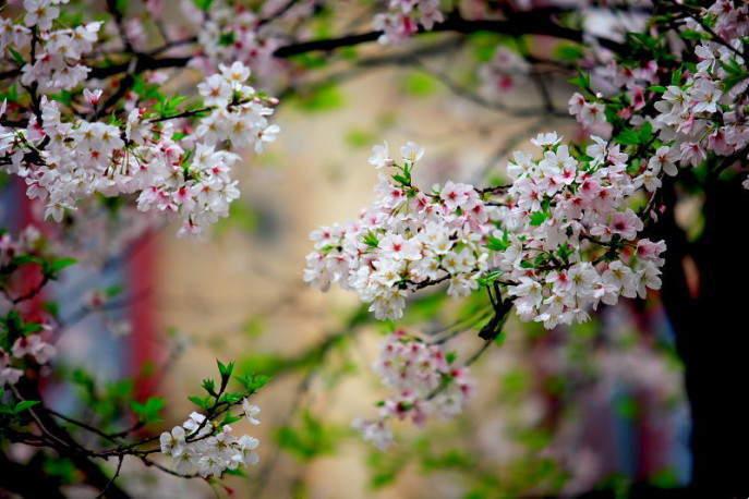 ■武漢の桜_e0094583_7405020.jpg