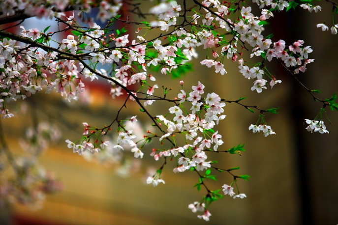 ■武漢の桜_e0094583_7411777.jpg