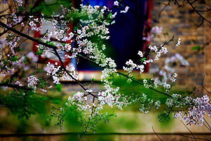 ■武漢の桜_e0094583_7415421.jpg