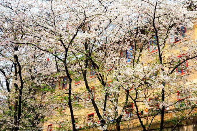■武漢の桜_e0094583_743666.jpg