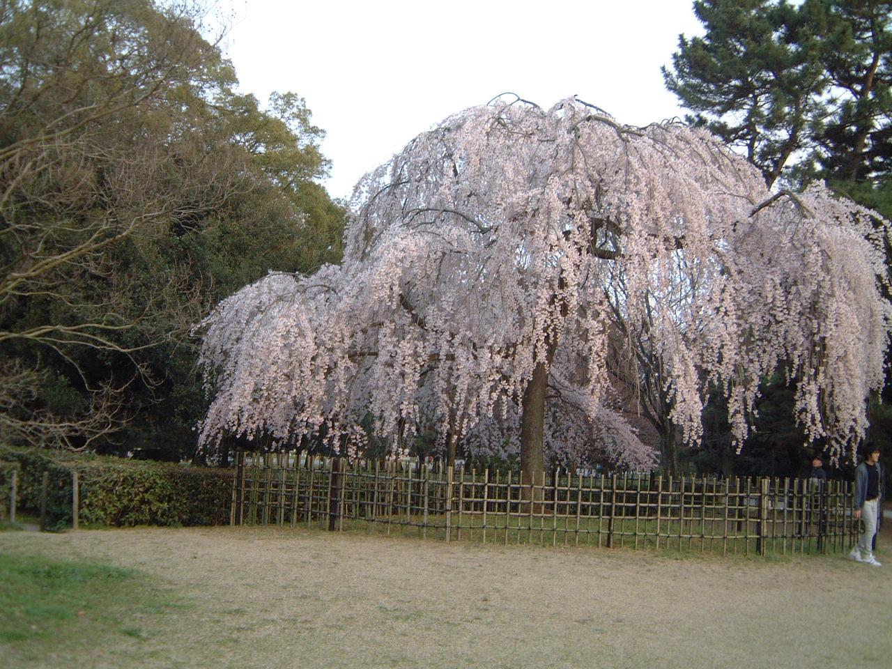 桜便り♪_f0028791_21415100.jpg