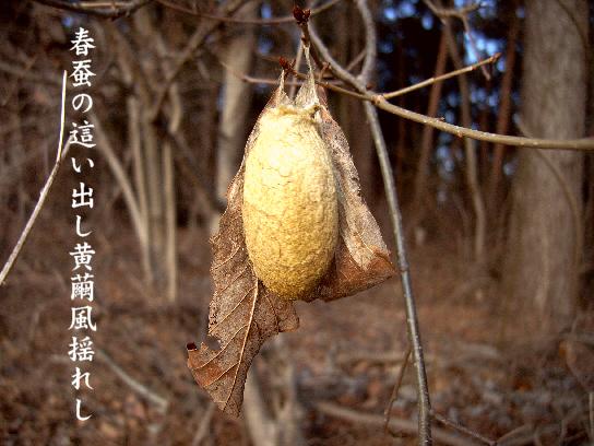 山繭_e0099713_194414.jpg