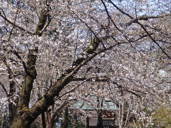 お寺の桜が咲いていました。_f0077521_10254062.jpg