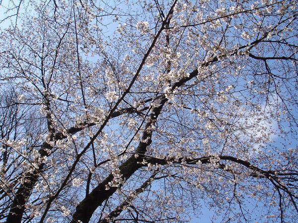 お寺の桜が咲いていました。_f0077521_10273273.jpg