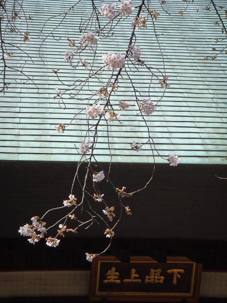お寺の桜が咲いていました。_f0077521_1027877.jpg