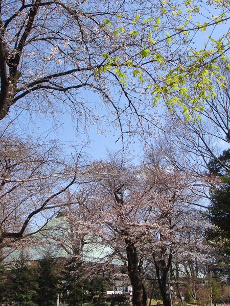 お寺の桜が咲いていました。_f0077521_10281427.jpg
