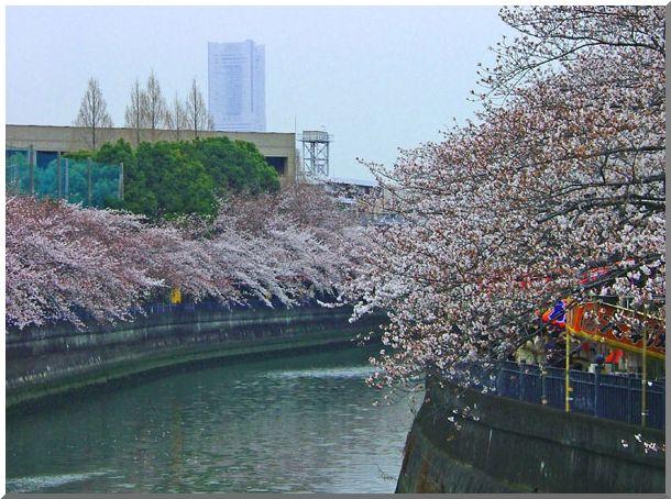 河岸沿いの桜_d0123528_16223749.jpg