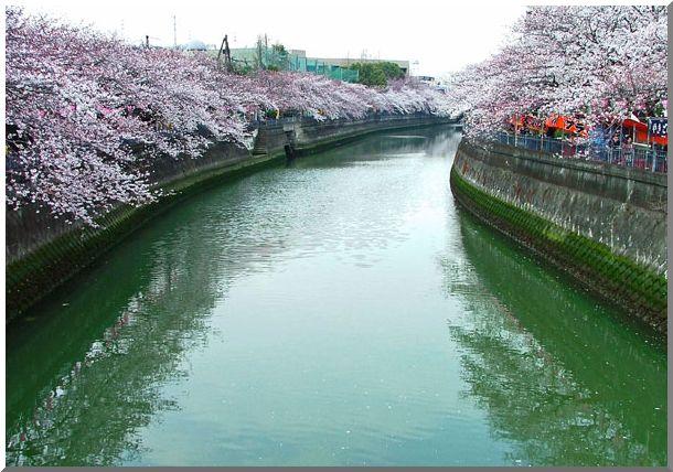 河岸沿いの桜_d0123528_16312737.jpg