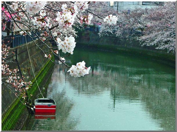 河岸沿いの桜_d0123528_16403690.jpg