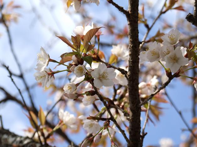桜満開!_b0089338_22444583.jpg