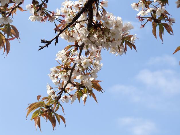 桜満開!_b0089338_22453319.jpg