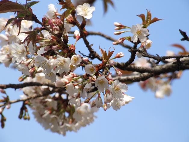 桜満開!_b0089338_22453853.jpg