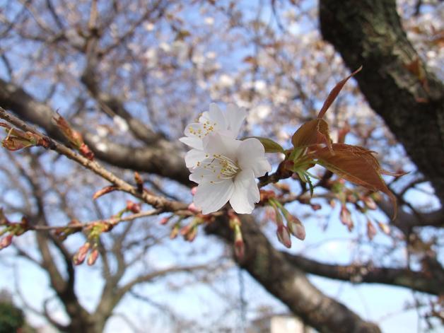 桜満開!_b0089338_22454493.jpg