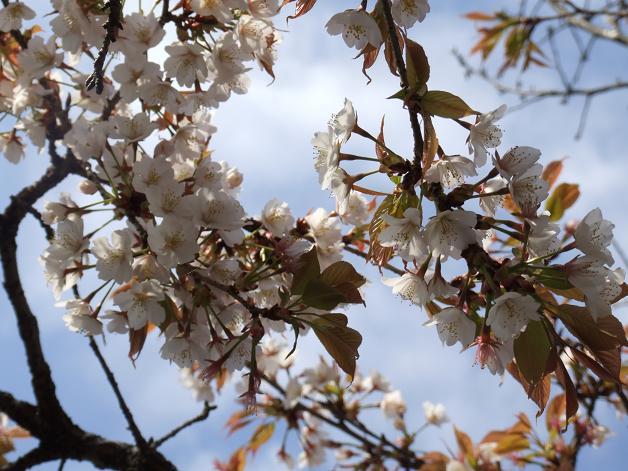 桜満開!_b0089338_22454944.jpg