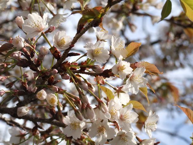 桜満開!_b0089338_22455496.jpg